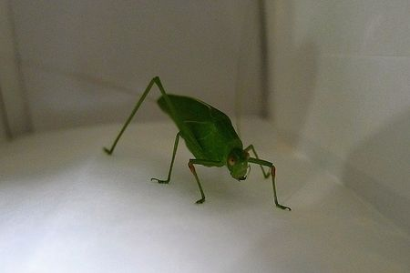 Long-horned_grasshopper1